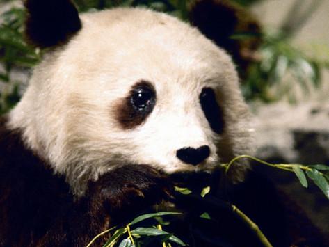 Goda nyheter: Enligt kinesiska  myndigheter är pandan inte längre utrotningshotad
