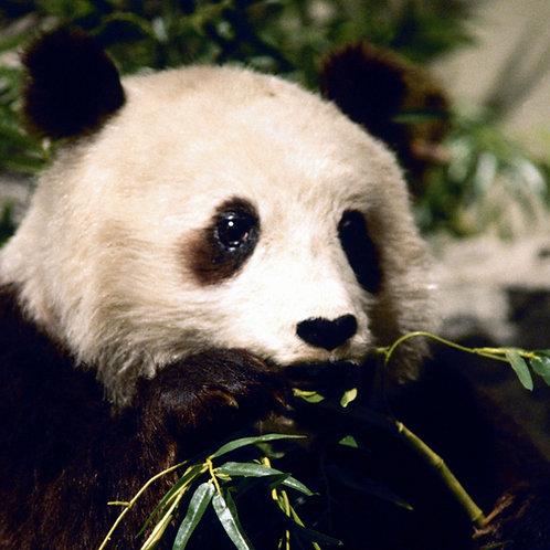 Un Panda voyage en Chine