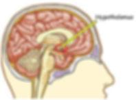 thalamus.jpg