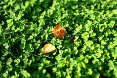 クローバーと落ち葉