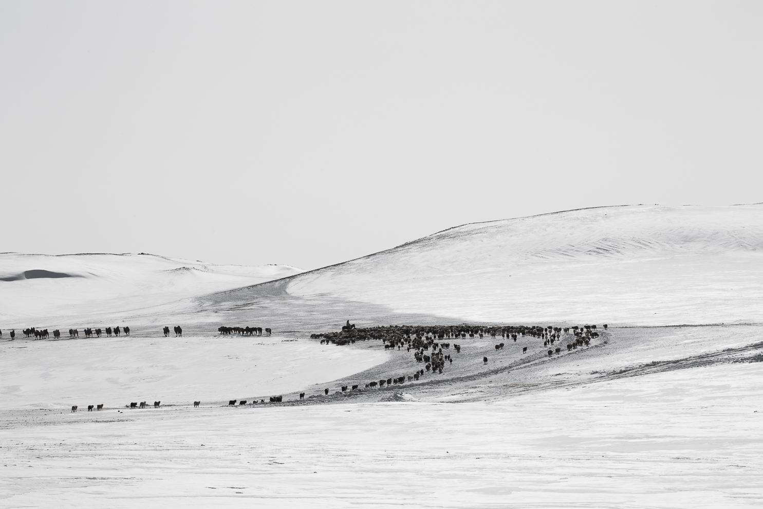 Winter Migration Mongolia