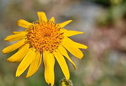 Arnica flower - natural ingredient for sciatica pain relieve