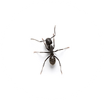 Ant control in Temecula from the local bug guy