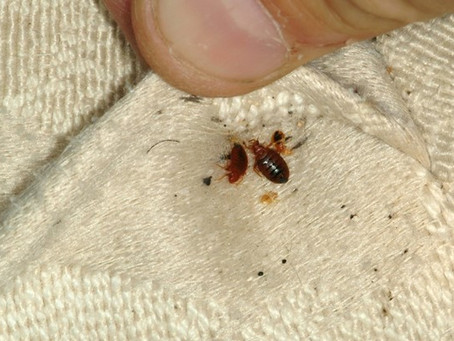 How to Identify Bed Bugs and Remove Them Fast and Permanently