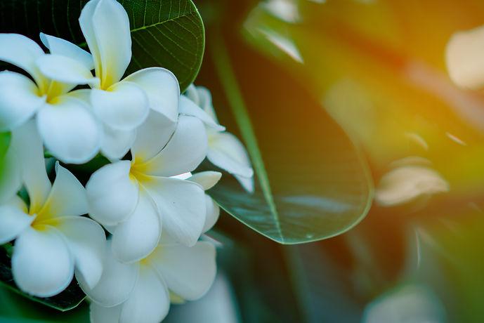 white-yellow-plumeria-flowers-tree-with-