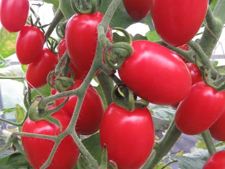 奥が深いトマトの収穫。そして落とし穴。。。