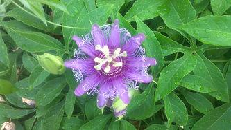 passion flower (1).jpg