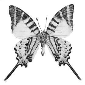 Graphium Antiphates