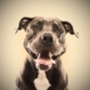 Funny%20Pitbull%20Portrait_edited.jpg