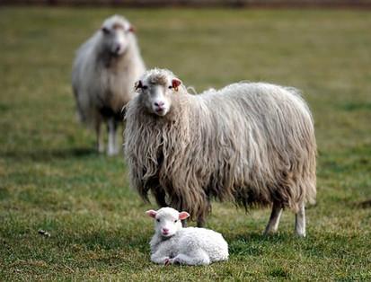 lamb-1564500__340.jpg
