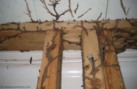 Marco de madera roto por termitas, comejen, fumigacion comejen, veneno para comejen, veneno para termitas, control de comejen, fumigacion ecologica de comejen, control de comejen