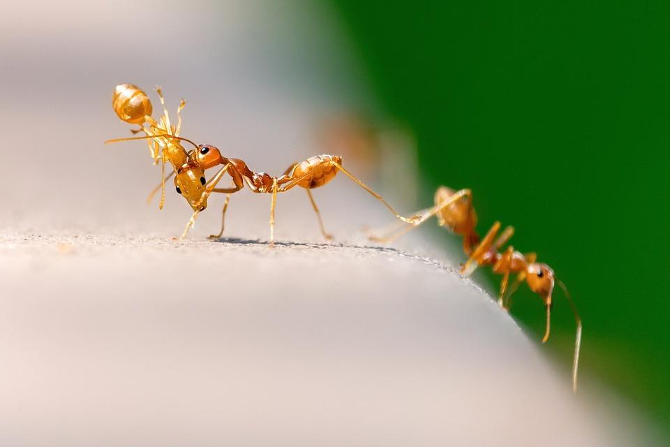 Trompa, Optigard Flex, Optigard Ant Bait, Optigard Gel, Fendona, Tenopa, cipermetrina, Termidor, Termidor Duo, Control de hormiguitas, Hormigas amarillas, Hormigas Negras, Hormigas en el jardin, Control de insectos como hormigas