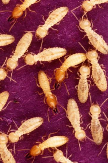 Colonias de termitas en madera, termitas de la madera seca, control de termitas, fumigacion termitas, veneno para termitas en Quintana Roo, Fumigacion de Plaga termita, termitas en muebles, control de insectos subterraneos