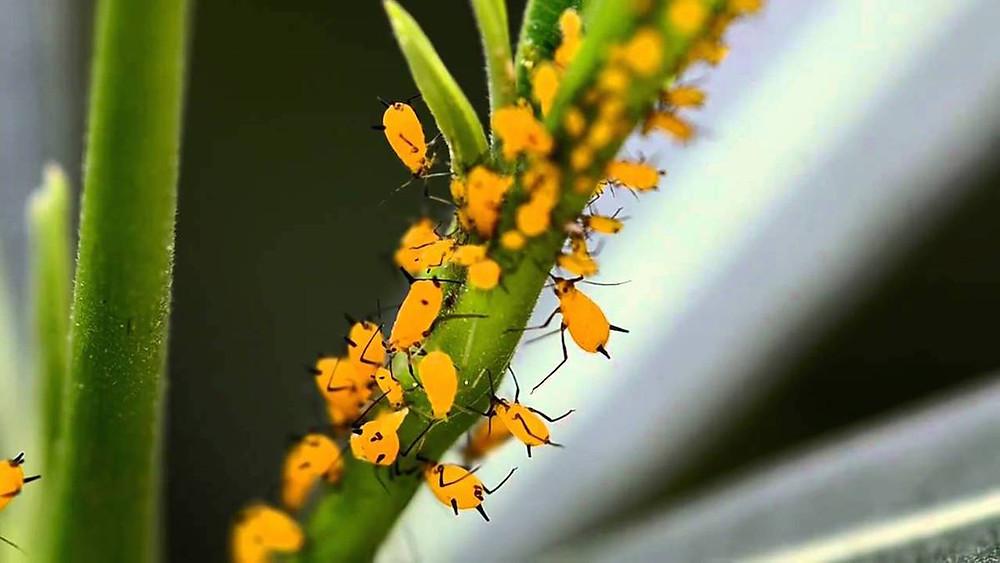 Control de Plagas en cultivos, Control de pulgon amarillo del sorgo, control organico de pulgon amarillo, control de plagas en cultivos de sorgo