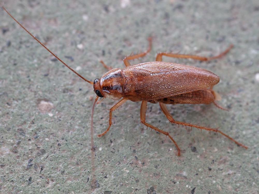Fumigacion cucarachas, veneno para cucarachas, control de insectos, Control de cucarachas, Cucarachas alemanas en restaurant, Insecticidas contra cucarachas, Plaguicidas para cucarachas