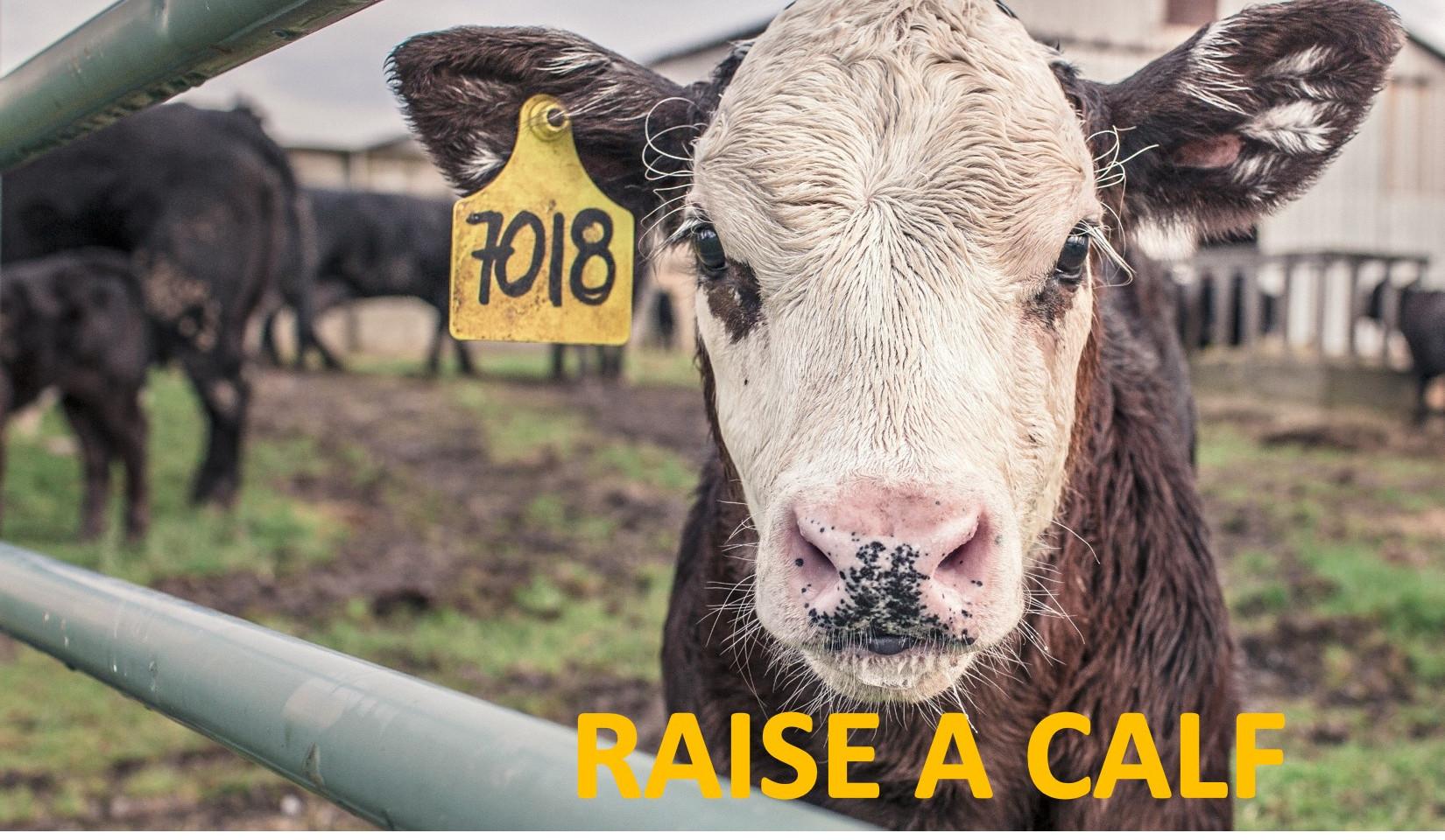 Raise a Calf Fundraiser