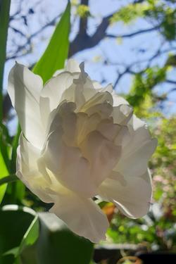 tulip2