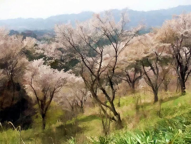 cherry_blossom.jpg