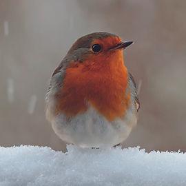 Robin in Snow.jpg