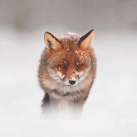 Winter Fox.jpg