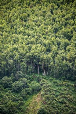Берёзовый лес в Кыргызстане