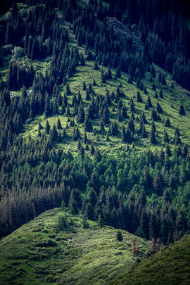 Сосновый лес Кыргызстана