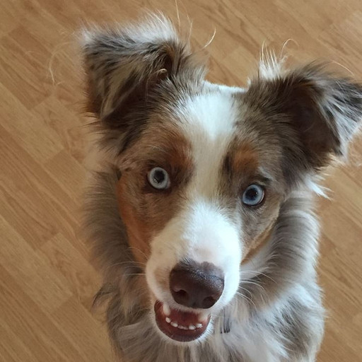 IQ Kennel | Mini American Shepherd Puppies | Greenville, SC