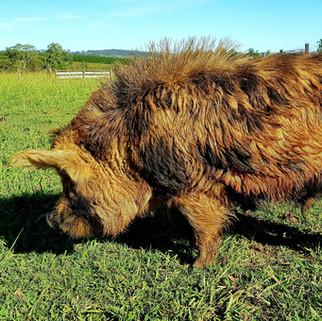 'Juice' Boar
