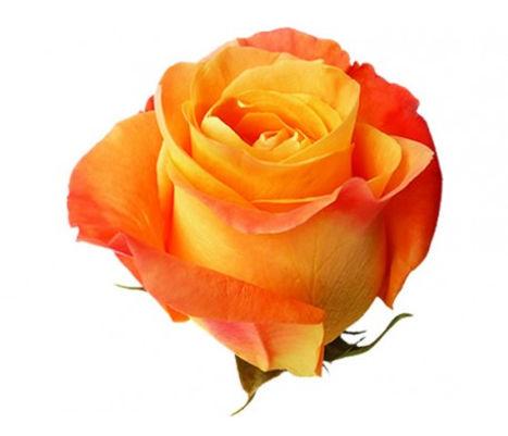 voodoo-orange-rose.jpg