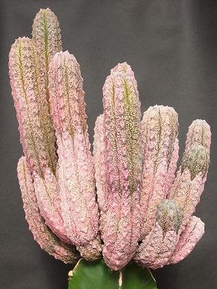 2074e- Euphorbia abdelkuri - raridade