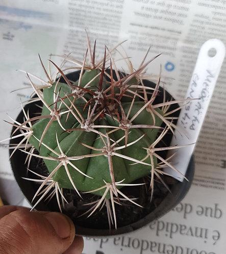 82C Melocactus Ernestii