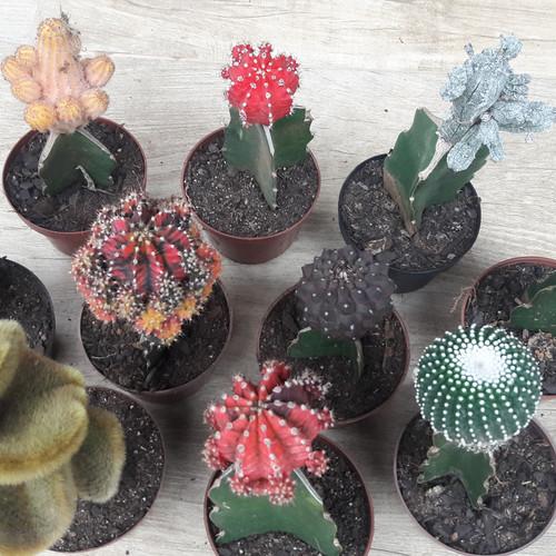 Fotos de cactos - Cactus raros fotos ...