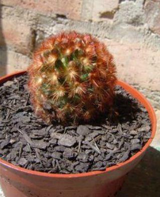 46C Mamilaria Camence V. Rubrispina