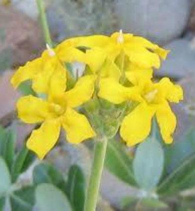 117S Pachipodium Horomboensis