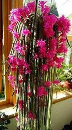 136C Aporocactus Flageliformis
