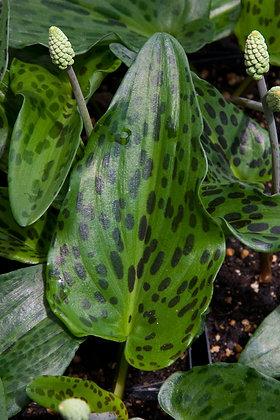 37S -Drimiopsis maculata