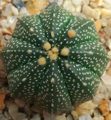 19C Astrophytum Asteris
