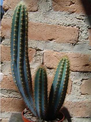 4C Pilocereus Azureus