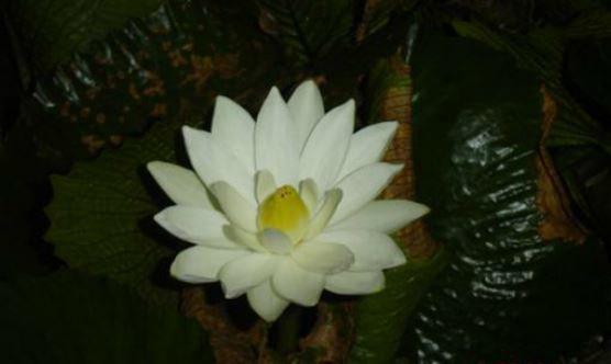 145S Ninfeia White Aquatica