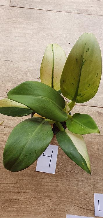 6025s-Philodendrum Pacova variegata