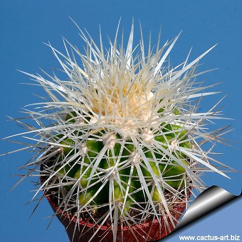 239c-Echinocactus grusonii espinho branco.
