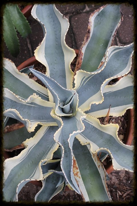 363S Agave gypsophila Ivory Curls - RARIDADE
