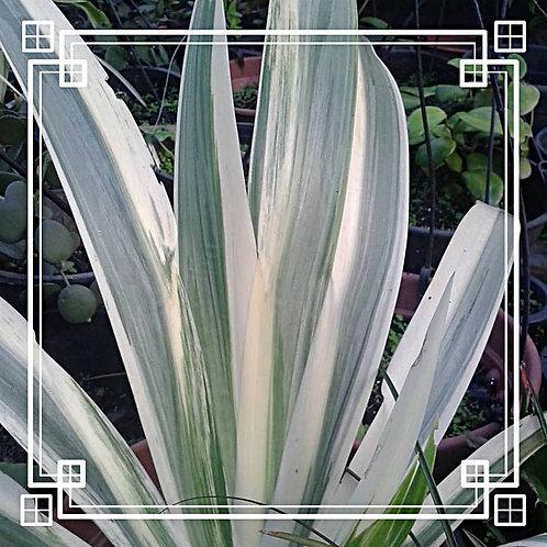 404s Neumarica variegata - Raridade