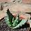 Thumbnail: 11C Aloe Mostruosa