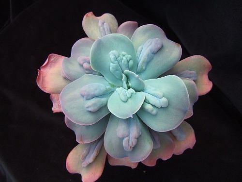 25S Echeveria Curunculata