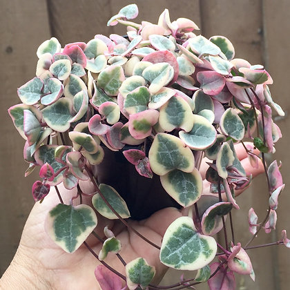 303s ceropegia wood variegata