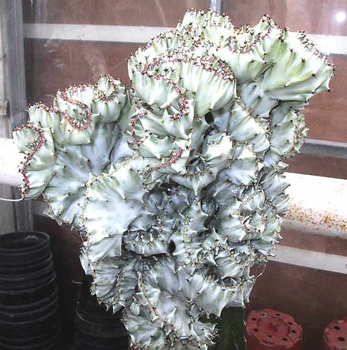 7312c-Euphorbia lactea cristata prata
