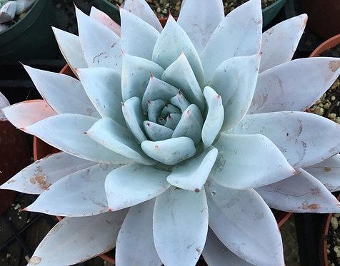 393 - Echeveria colorata mexican giant- Raridade
