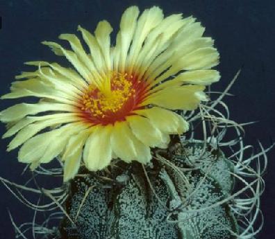 18C Astrophytum Capricone