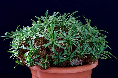 07- Euphorbia Japonica - Raridade